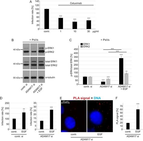 ADAM17-dependent signaling is required for oncogenic human
